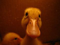 Here a Quack, There a Quack....